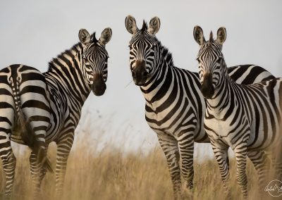 Three zebras looking at the camera in high yellow grass