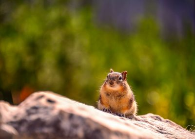 Collared pika on a rock