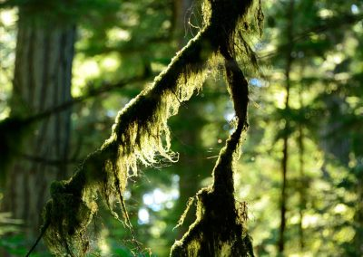 Green moss hanging down from the branch of a tree