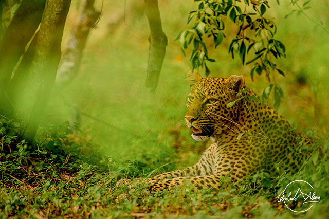 On the hunt trail of a beautiful leopard