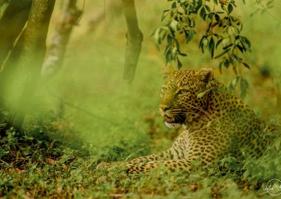 Leopard portrait resting on the ground surrouned by green leaves