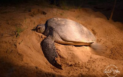 Turtle eggs laying and hatching under the moonlight