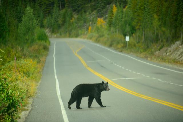Black bear crossing highway in Canada