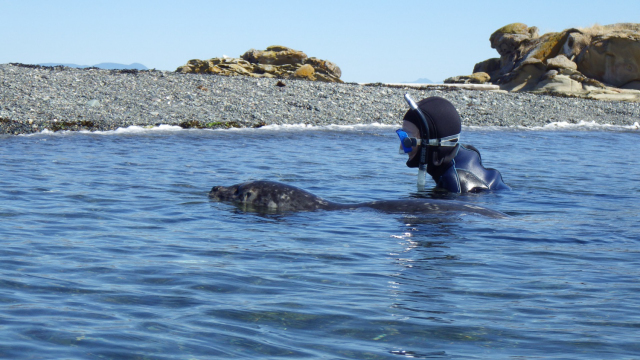 Diver and seal swimming at the surface next each other