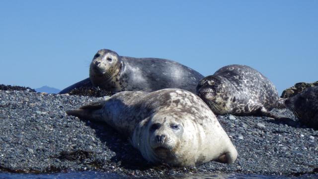 Seals lying on Snake Island