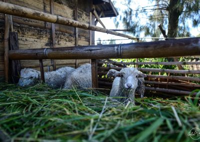 Sheep eating green grass in a small enclosure