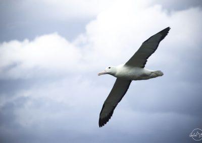 Albatross flying in light blue sky