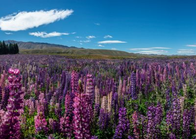 Panoramic view of a field full of purple and pink flowers
