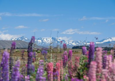 Pink and purple flowers in the foreground, hidding a long chain of mountains in the background with clear blue sky