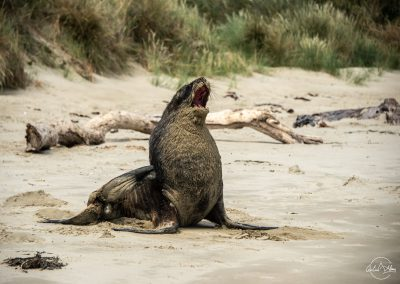 Sea lion sitting and yawning mouth wide open on a white sand beach