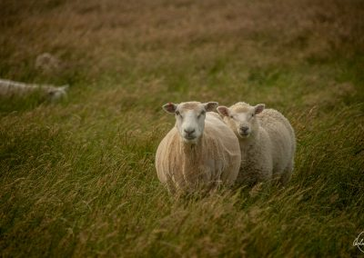 Portrait of two sheeps next to each other in a green yellowish landscape