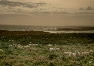 Landscape near the sea with group of sheeps with a yellow hue