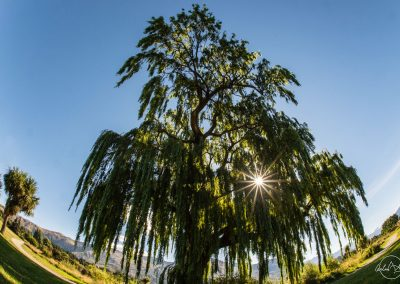 View from the ground of a very tall and thin tree with multiple branches and sun creating a star shape between leaves