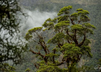 Top of a tree with green leaves and branches of different shapes surrounded by fog